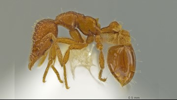 New Ant Species Discovered in Ant Expert's Backyard