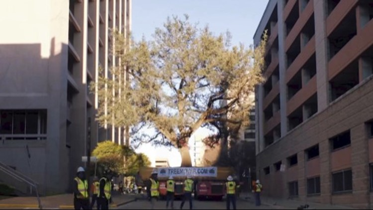 This Extremely Old Tree Has to be Moved Over a Mile Through Downtown Austin, Texas