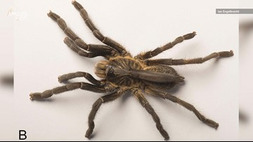 Newly-Discovered Tarantula has a Weird, Floppy Horn on its Back