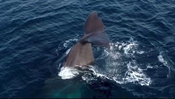 Boat Captain Catches Rare Video of Two Sperm Whales Near California's Coast