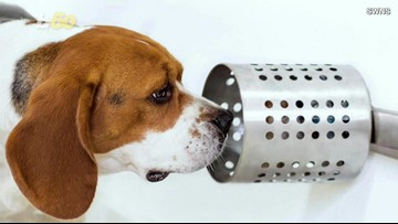 Dogs sniff out lung cancer with 97% accuracy, study finds