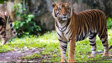 Condition of Topeka zookeeper attacked by tiger improving