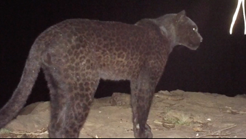 Black leopard spotted in Africa for the first time in a century