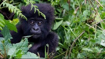 Rare conservation win: Mountain gorilla population ticks up