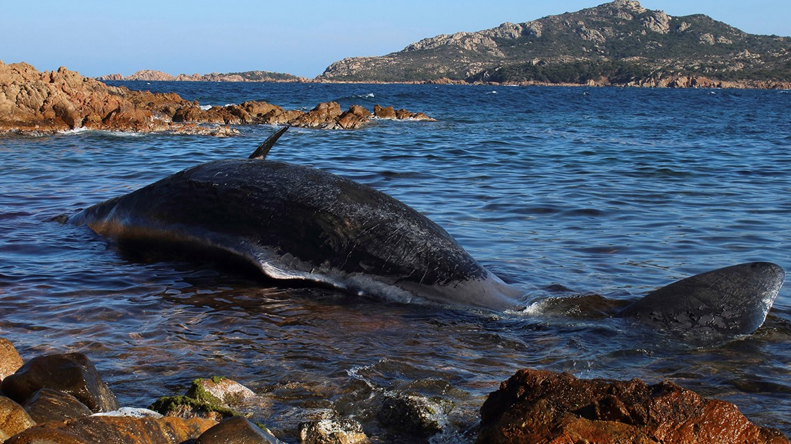 48 pounds of plastic found in dead whale that washed up in Italy