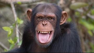 Mean chimpanzee reportedly running amok in Texas