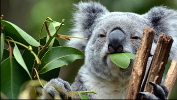 Australian hospital 'overwhelmed' by $1.4M+ in donations for thirsty koalas in wildfire zones