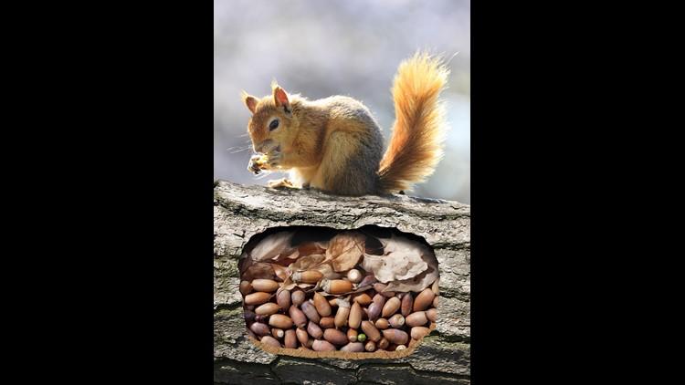 Squirrels burrow