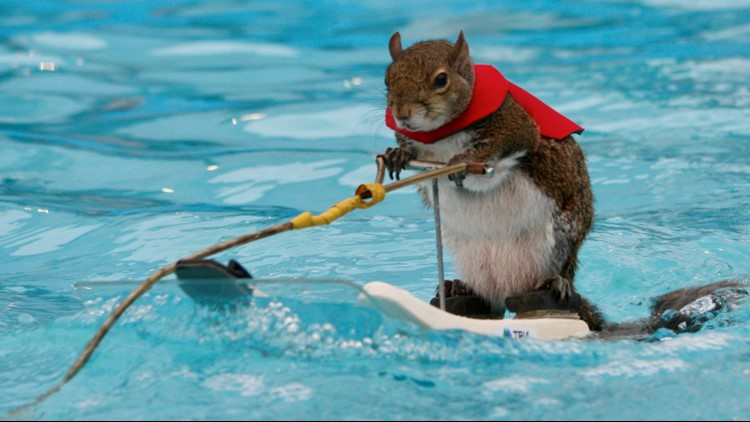 Twiggy the water-skiing squirrel retires after Minneapolis show
