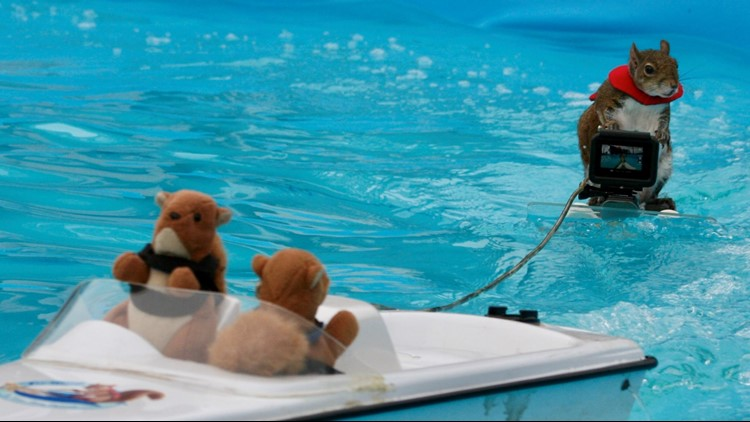 Twiggy the water-skiing squirrel gets a pull