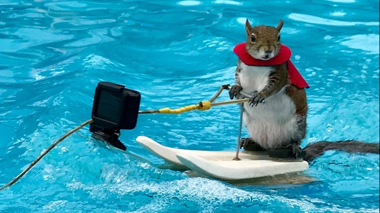 After 39 years, Twiggy the water-skiing squirrel is retiring.