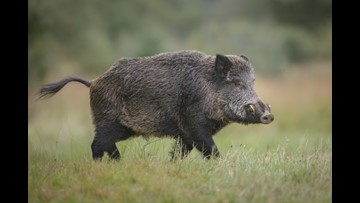 270-pound wild boar captured in backyard