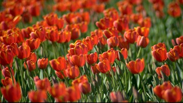 Tulips from Amsterdam? Not in times of coronavirus crisis