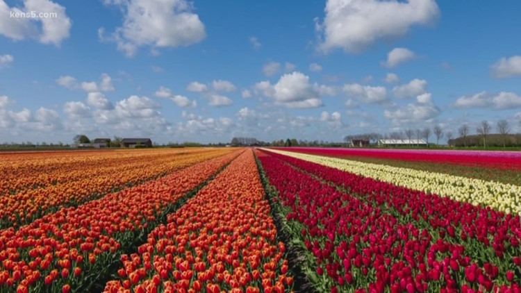 A tulip field is opening next month in Texas