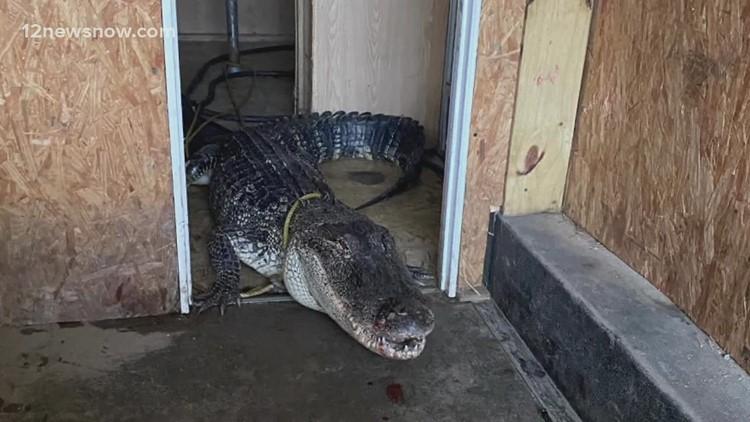 10-foot gator blocks traffic in Texas, gets rescued during Tropical Storm Nicholas
