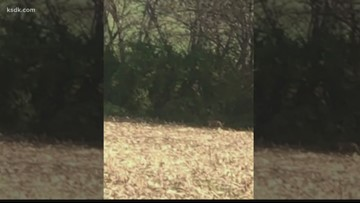 Did diners in Illinois catch a mountain lion on camera?