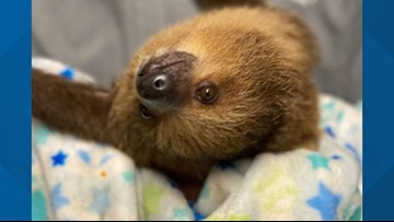 The St. Louis Aquarium's sloth will be a cute distraction for kids (and you) Thursday morning