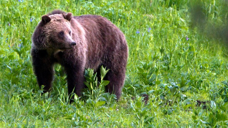 Idaho senators back bill to remove grizzly bears from federal protection