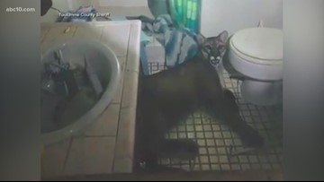 Mountain lion wanders into house, lies down in bathroom