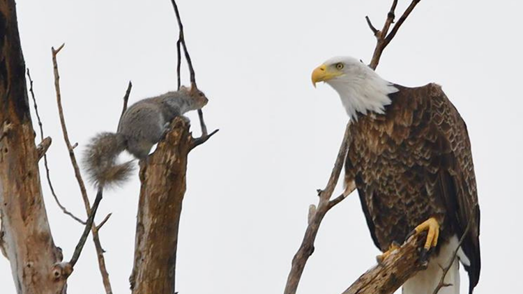 Squirrel and bald eagle play cat and mouse