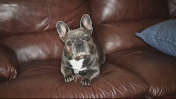 Pet owners in Texas say thieves are stealing French bulldogs
