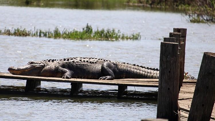 Huge alligators spotted at Fort Worth Nature Center and Refuge
