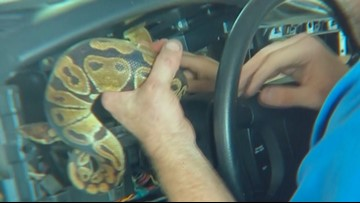 Mechanic removes ball python from inside dash panel of truck