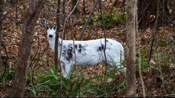 Oh, 'deer'! NC man spots rare piebald deer in neighborhood
