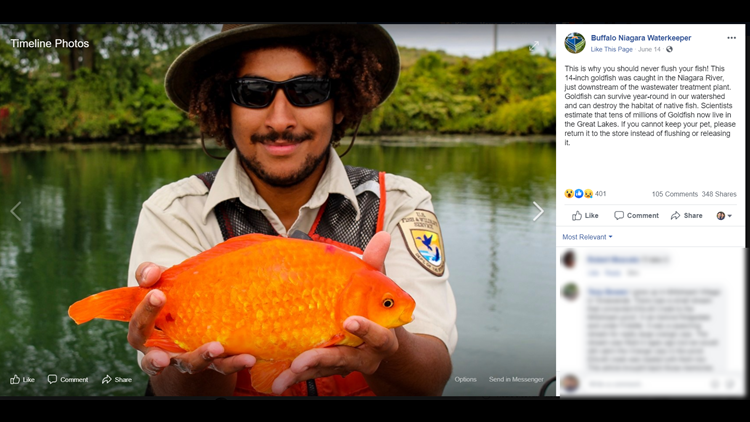 Don't flush goldfish! 14-inch specimen caught in river