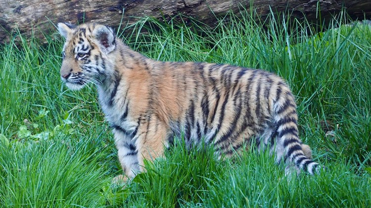 3 tiger cubs make playful debut at Cleveland Zoo