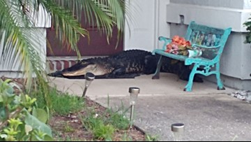 Florida man gets wake-up call after finding 6 foot, 5 inch gator on his doorstep