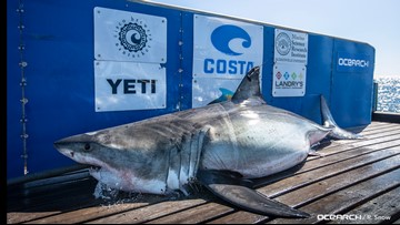 Great White shark pings off Sarasota coast