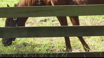 Thoroughbred horse slaughtered for meat in Manatee County