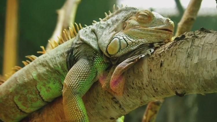 Falling iguanas possible Christmas weekend