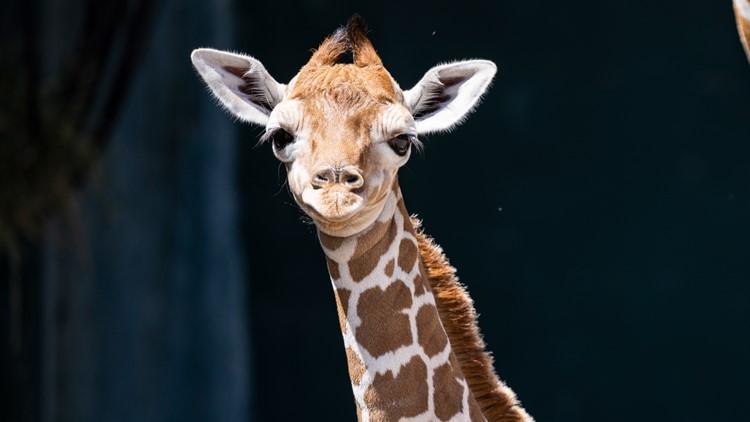 Say hello to 'Stanley': Busch Gardens' newborn giraffe was born the night the Lightning won the Cup