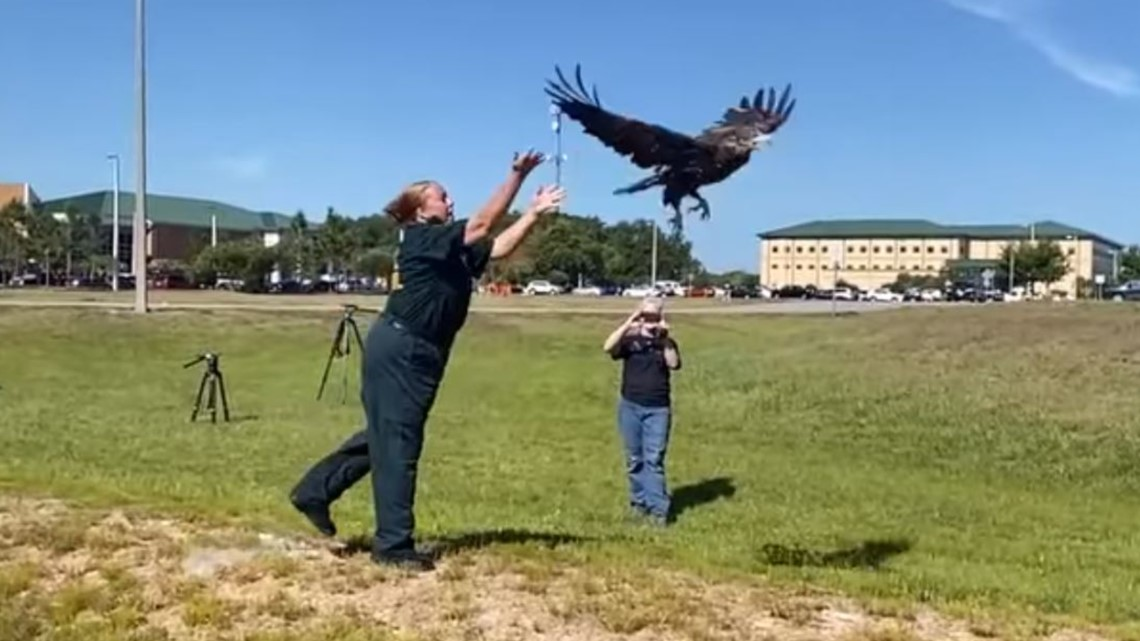Bald eagle found with fractured wings finally heads home