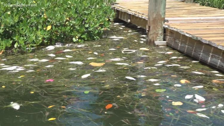 FWC: Red tide conditions continue to improve in Tampa Bay