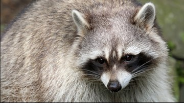 Rabies alert extended another 60 days in Polk County