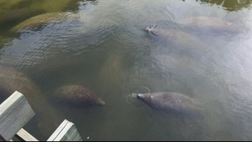 Crews work to capture manatee stuck in a tire