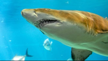 Florida Aquarium, Coppertail Brewing create beer to help sand tiger sharks