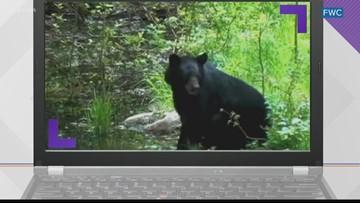 June is black bear mating season in Florida