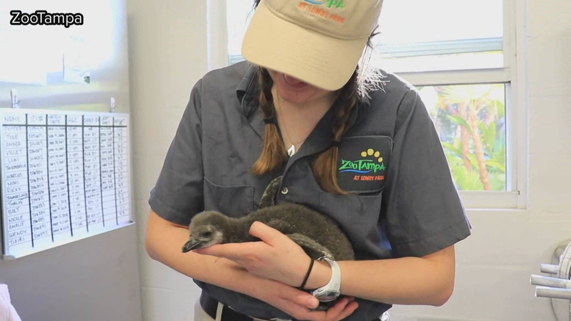 ZooTampa might need your help naming their adorable new baby penguin
