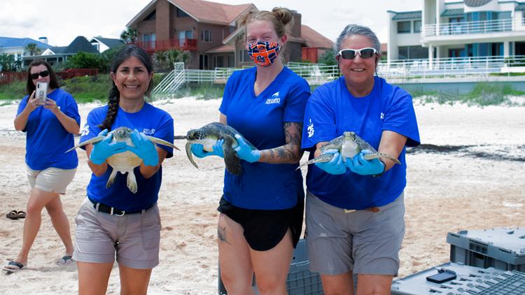 The Florida Aquarium releases 5 endangered sea turtles back into the wild