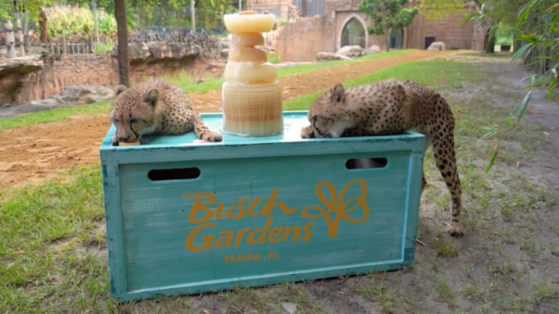 Busch Gardens' cheetah cubs get taste of the Stanley Cup with icy treat
