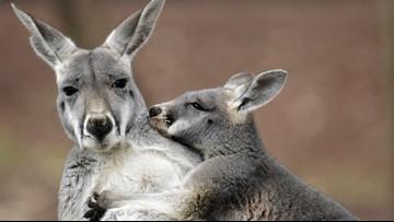 Several states don't restrict ownership of kangaroos