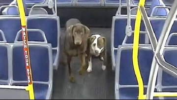 Lost dogs catch ride on city bus, driver helps reunite them with owner