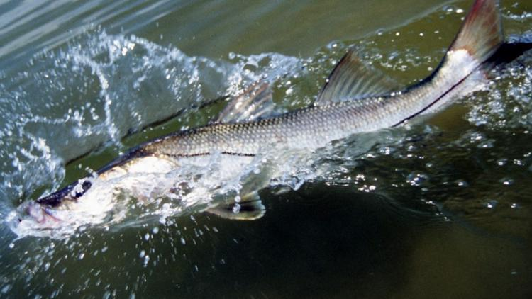 Snook season begins Sept. 1: What you need to know