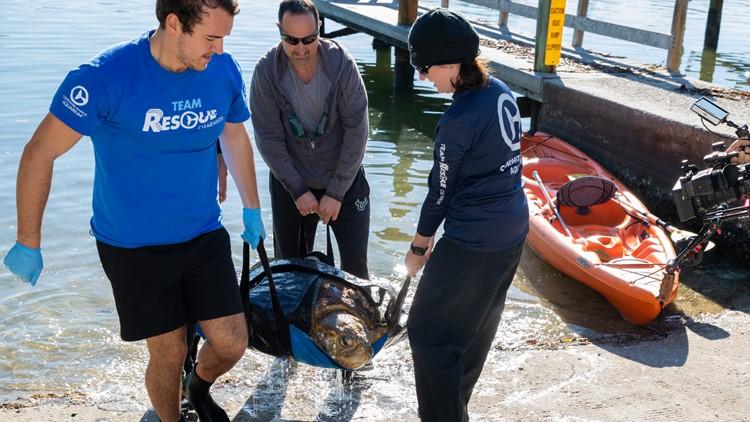 Clearwater Marine Aquarium staff rescue 'Kirby,' 225-pound loggerhead sea turtle