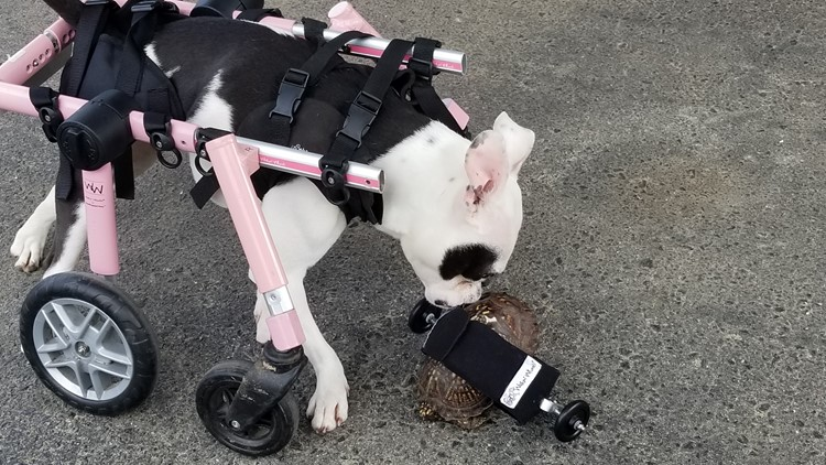Rosalie the dog and Scoot Reeves in their wheelchairs