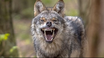 Florida man fights off coyote with coffee mug